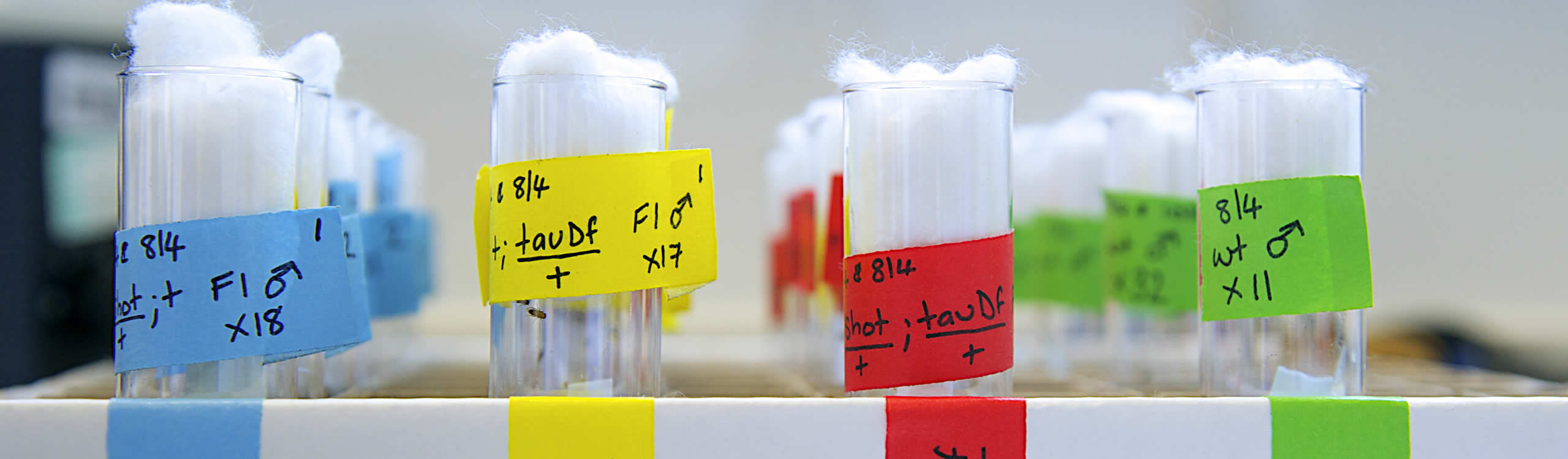 Text tubes containing Drosophila (fruit flies)